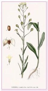 рыжик ботаническая схема