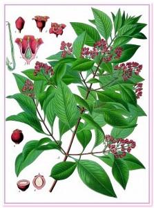 сандал ботаническая схема