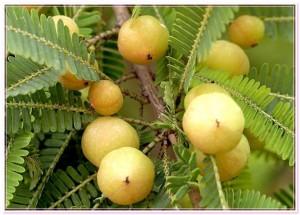 фото плодов амлы