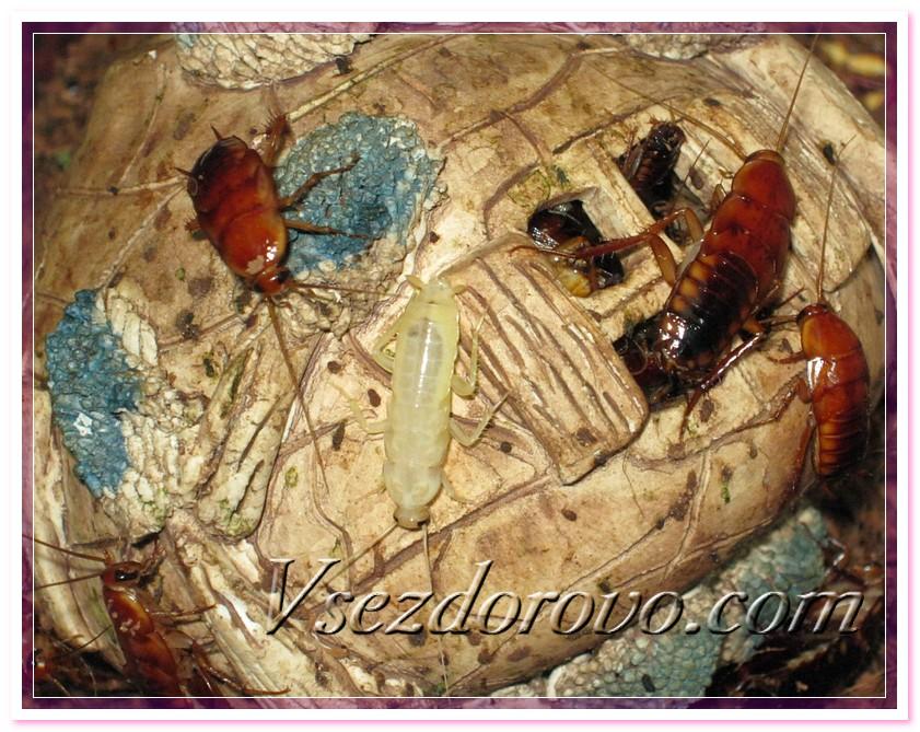 Туркменский таракан после линьки