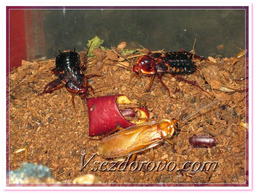 Самец и самка туркменского таракана