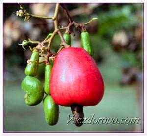 Плод кешью фото