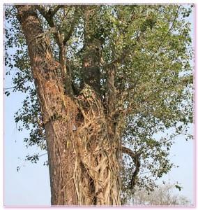 саловое дерево фото