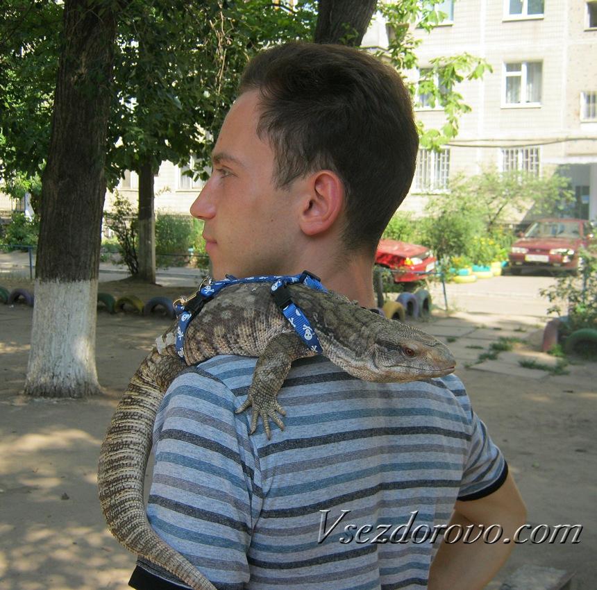 Капский варан на плече хозяина