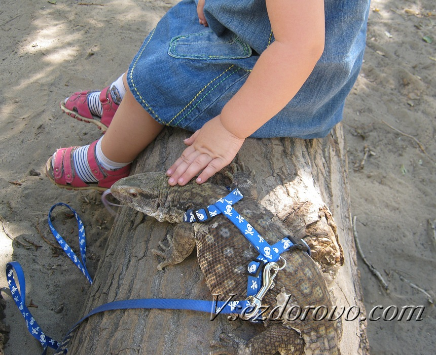 Девочка гладит капского варана