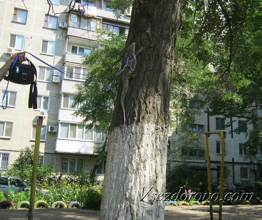 Капский варан залез на дерево
