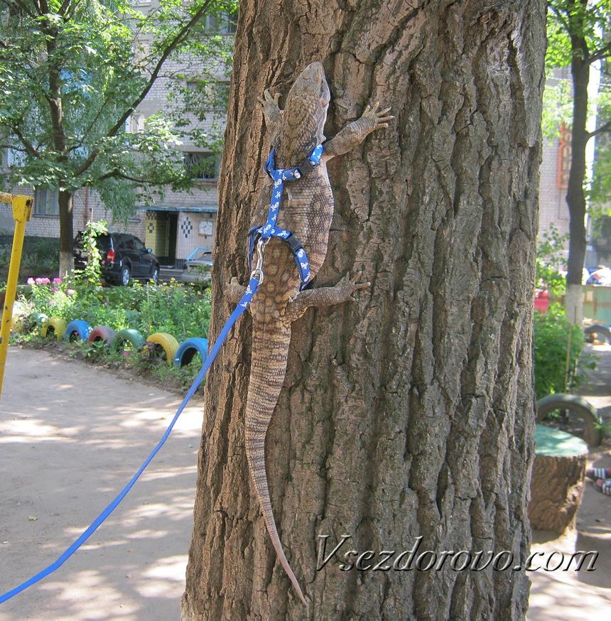 Капский варан на дереве