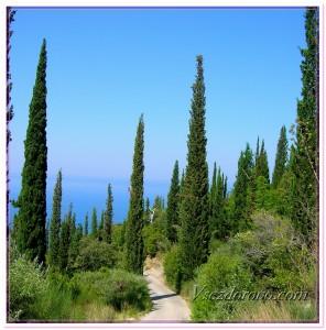 Кипарисы фото