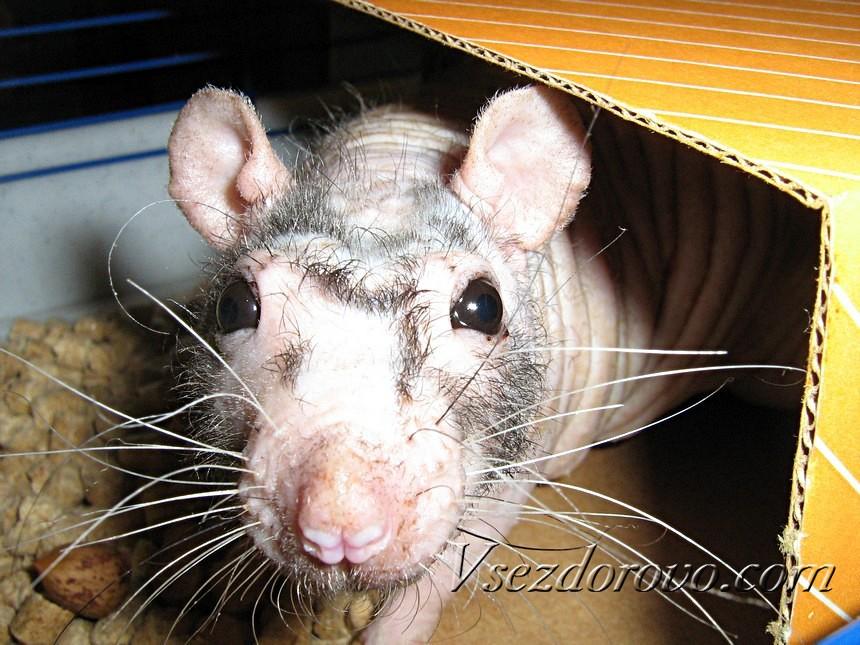 Лысая крыса в домике