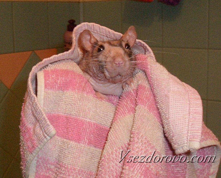 Лысая крыса в полотенце
