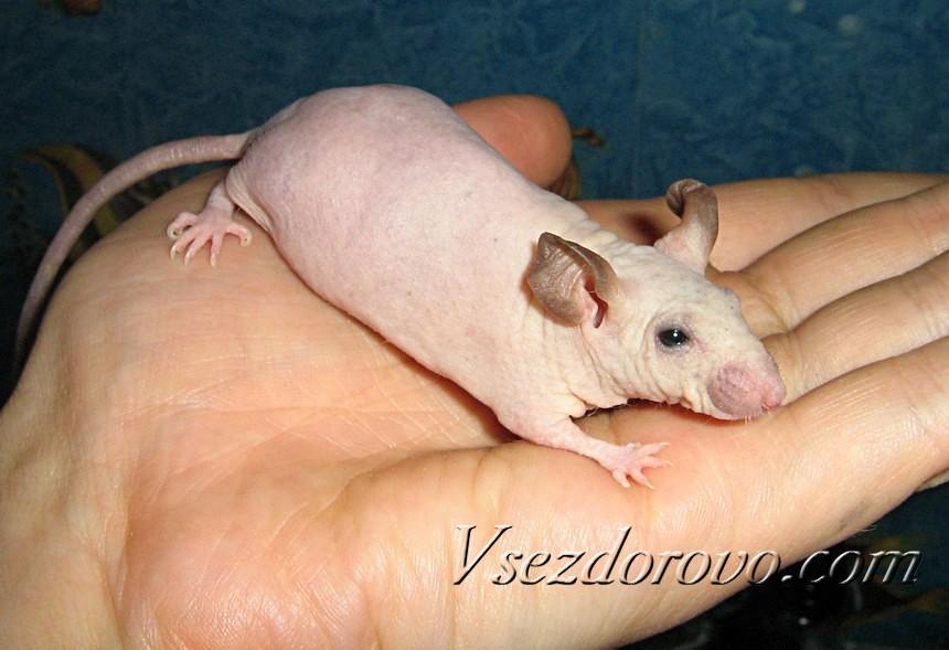 Лысая мышь фото