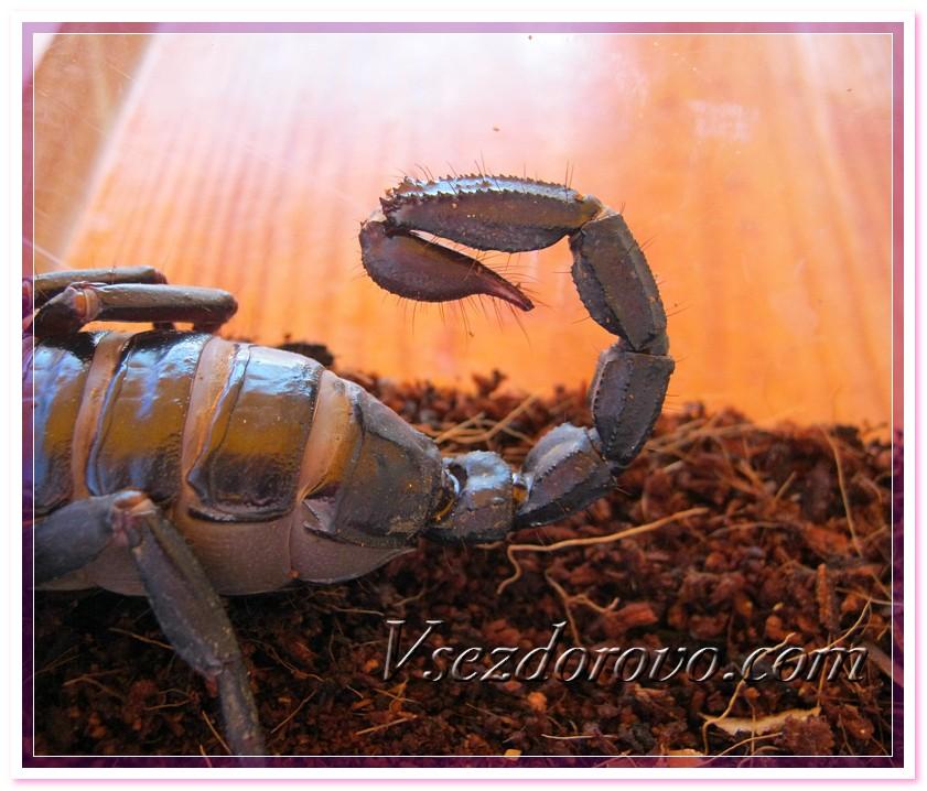 Грозное оружие скорпиона