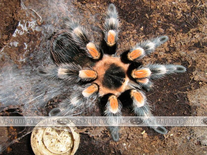 Недавно полинявшие пауки поражают сочностью и яркостью красок, пушистостью.