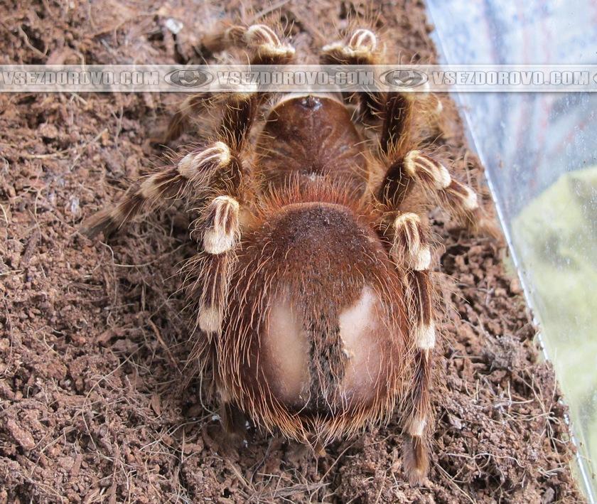 Проплешины на брюшке паука