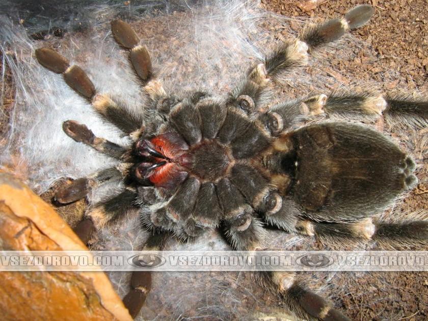 Паук плетет себе из паутины «ложе», укладывается на него вверх ногами и неподвижно лежит.