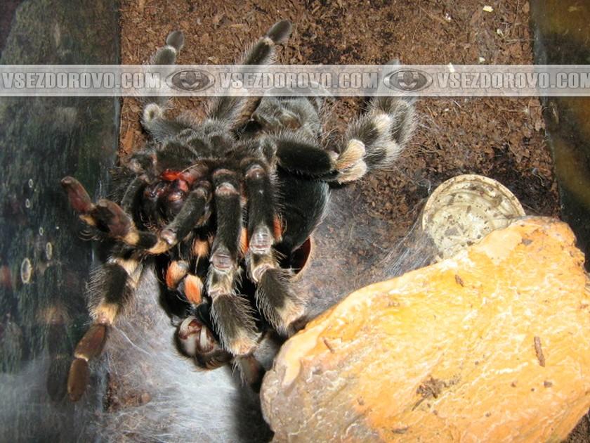 Затем кожа на спине лопается, паук медленно и осторожно освобождает ноги.