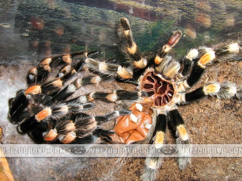 Постепенно паук полностью освобождается от старого скелета