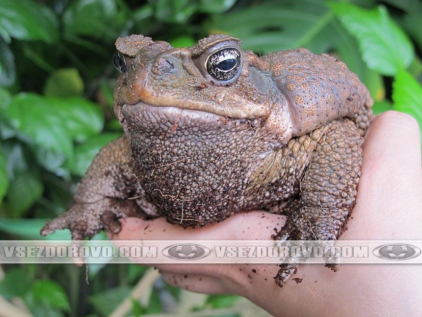 Самец жабы аги