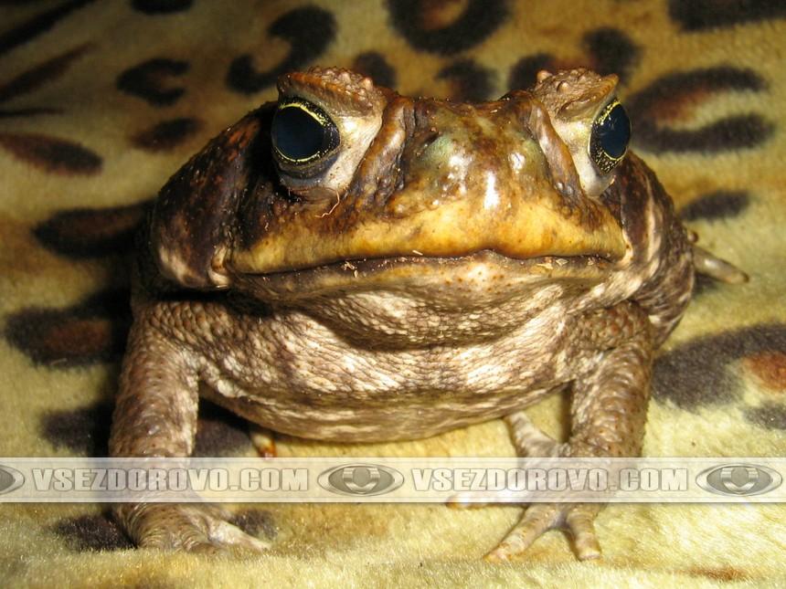 Глаза жабы аги