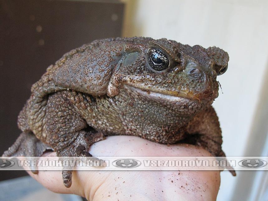 Жаба ага на руках
