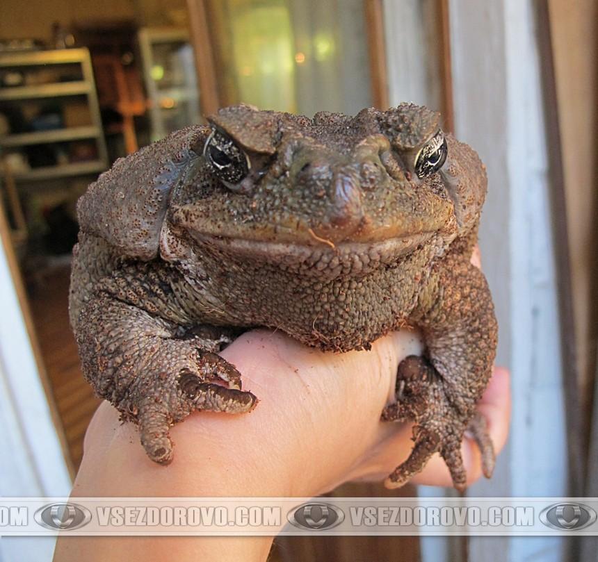 Жаба ага на руке