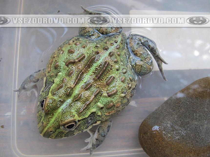 Африканская роющая лягушка в террариуме