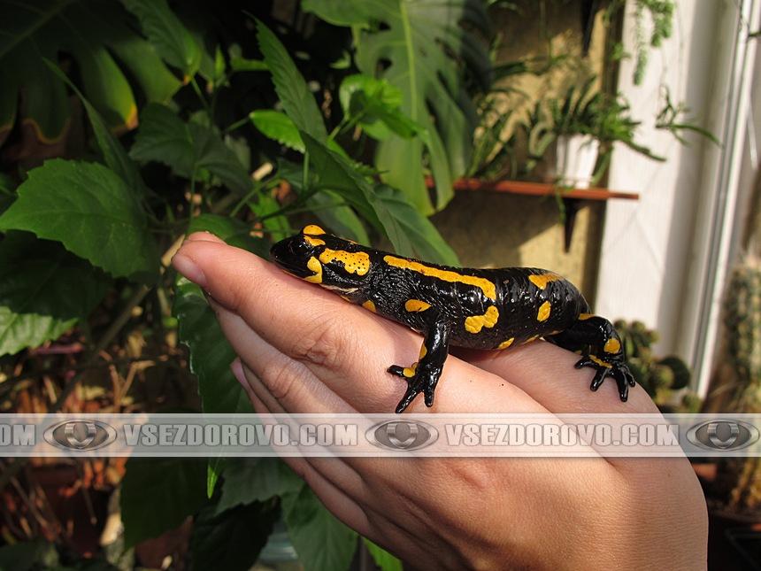 Огненная саламандра на руках