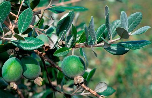 Плод фейхоа -экзотический фрукт