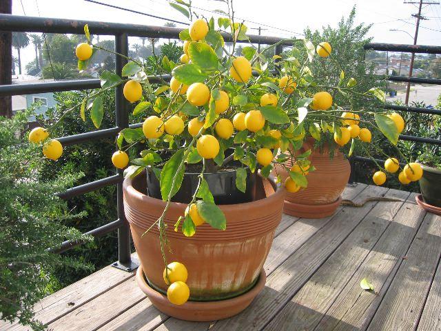 Лимон и его выращивание в домашних условиях 678