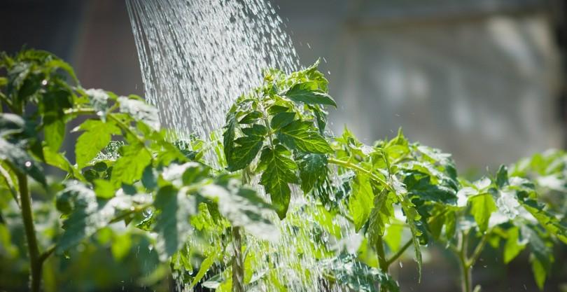 Правильный полив помидор в теплице и грунте. Как поливать помидоры бутылками и капельным методом