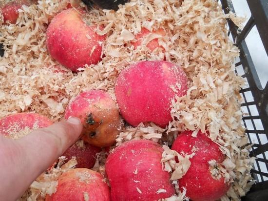 Яблоки на зиму в банках — заготовки по лучшим рецептам — компот, пюре, повидло, для пирогов без сахара. Как хранить яблоки зимой дома