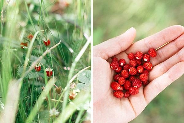 Варенье из земляники лесной и садовой на зиму