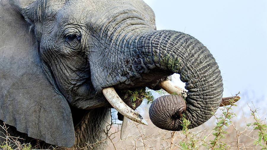 Почему слоны редко болеют раком? Могут ли они помочь нам в борьбе с болезнью
