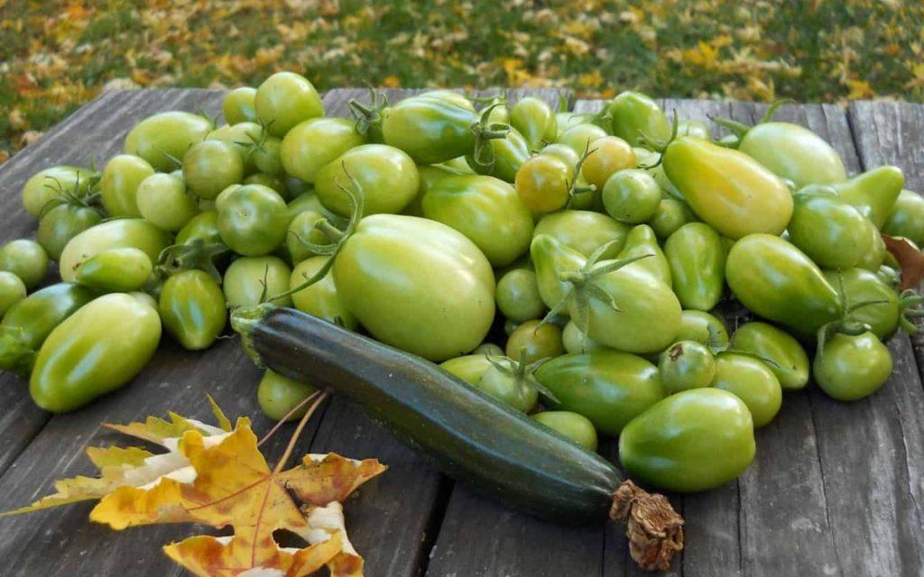Что делать, если снятые помидоры не краснеют