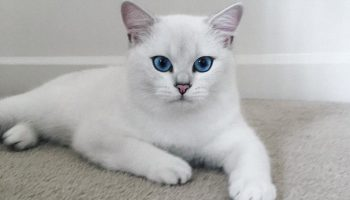 Голубоглазый и белоснежный: кот Коби — настоящая звезда Инстаграма