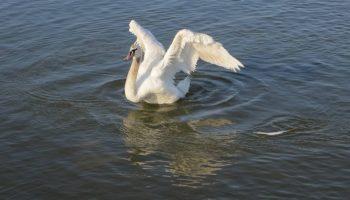 Не ущипнул и не сбежал: как лебедь отблагодарил своего человека-спасителя
