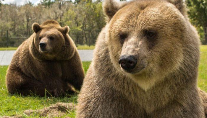 «Мама и три медведя»: американская семья продолжает традицию своих предков, ухаживая за медведями