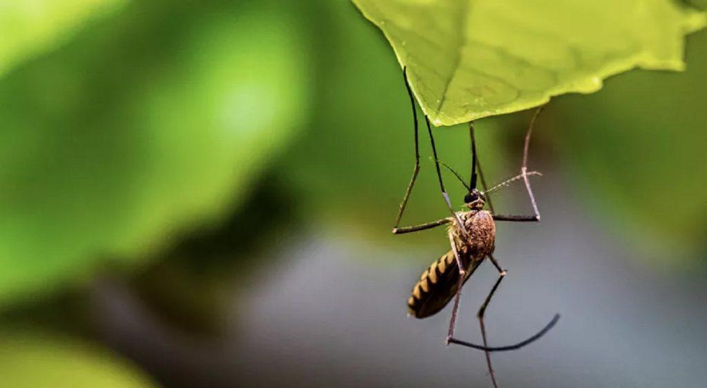 Пугало с листочками: растения, которые избавят вас от комаров