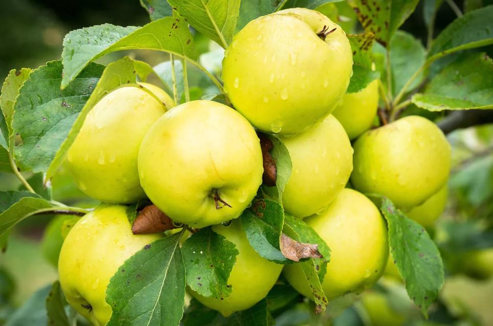 Как яблоки помогают нам не болеть и быстрее восстанавливаться
