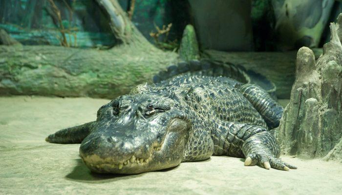 Прощай, Сатурн: в Москве попрощались с крокодилом-долгожителем, пережившим войну