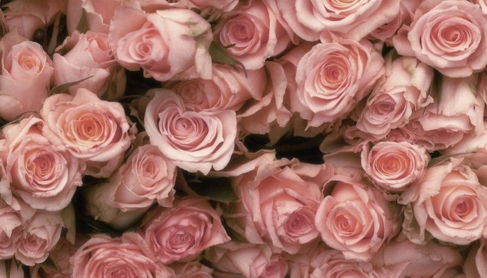 «Розовые розы, я несу ей снова»: знали ли вы, что у каждого цвета розы свое значение?