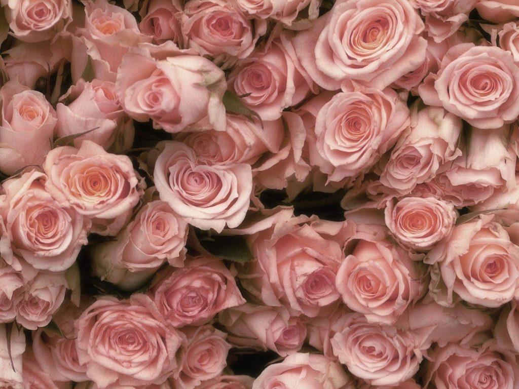 Розы, бутоны, розовые, нежность обои на рабочий стол hd качества