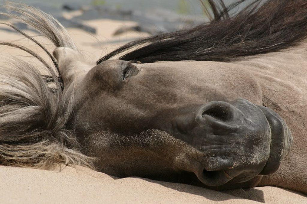 «Знаете ли вы?»: в каком положении спят лошади