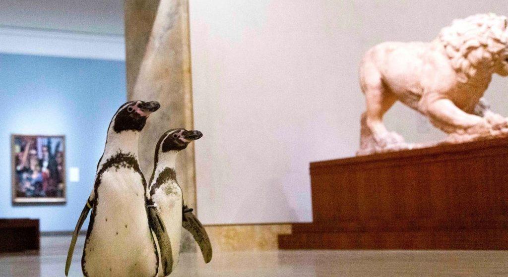 Чувство прекрасного: перуанские пингвины бродили по закрытой картинной галерее