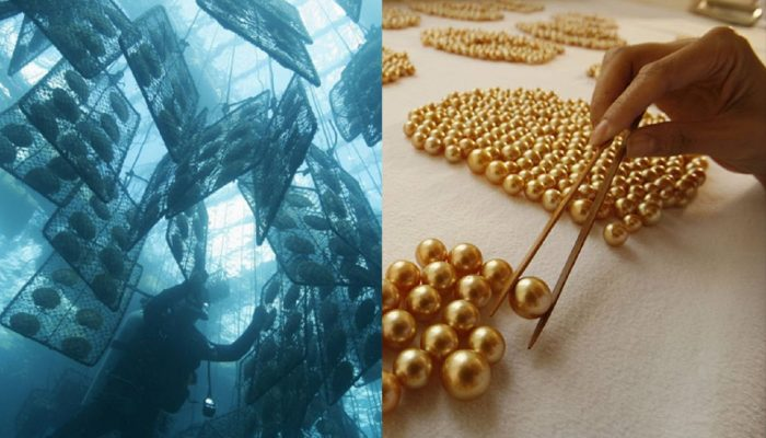 «Знаете ли вы?»: как выращивают золотой жемчуг на Филиппинах