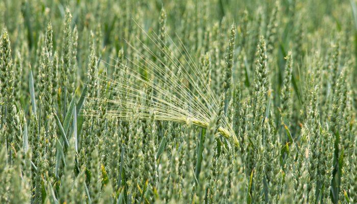 Именины Пахома Великого – 28 мая: почему нельзя сажать ничего, кроме пшеницы