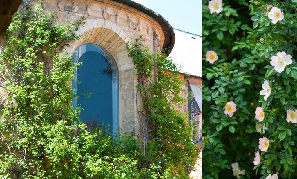 «Святая роза»: как зацвел 1000-летний куст солнечного шиповника в Хильдесхаймском соборе