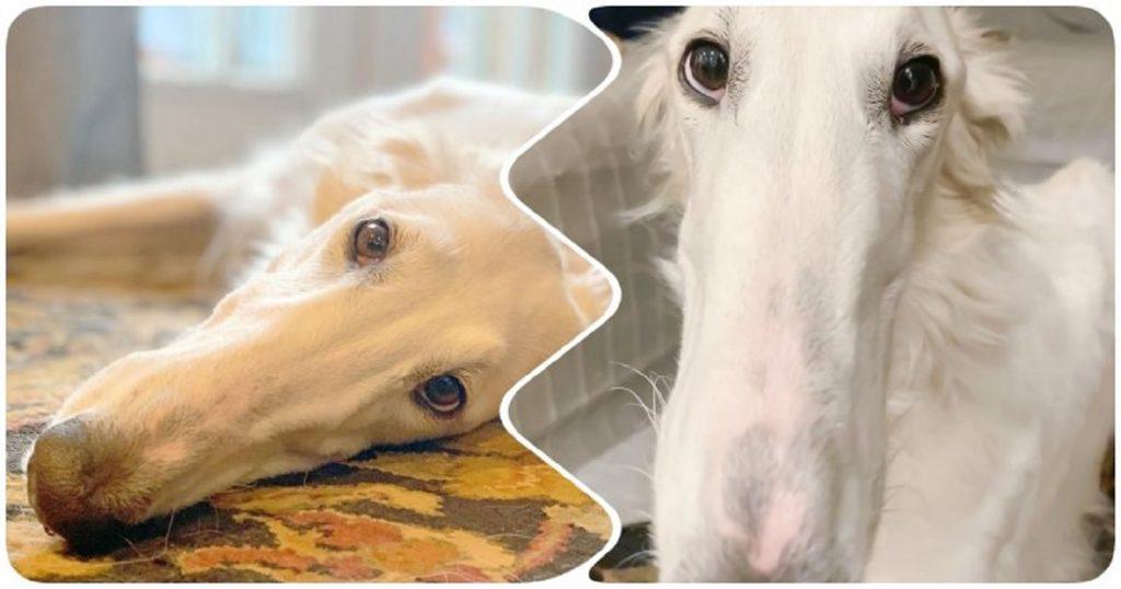 Белоснежная борзая стала популярна из-за очень длинного носа