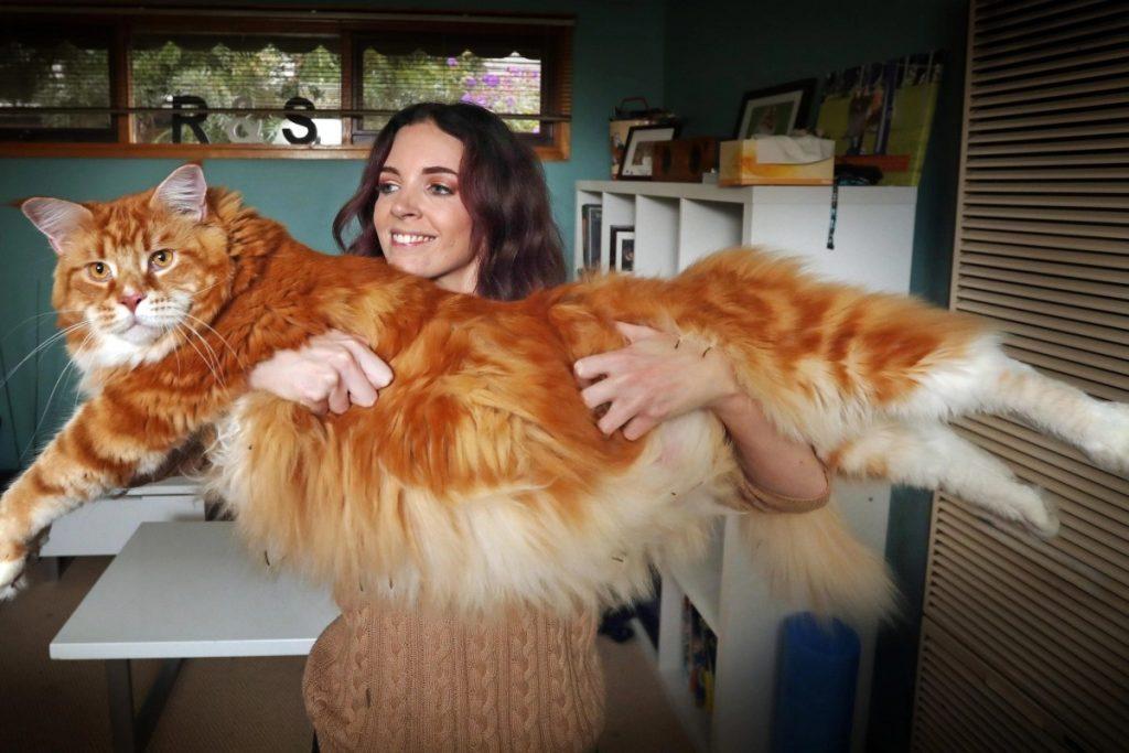 Instagram пушистого гиганта: как выглядят будни 14-килограммового кота Омара