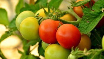Флоридское переплетение: как подвязать помидоры в открытом грунте